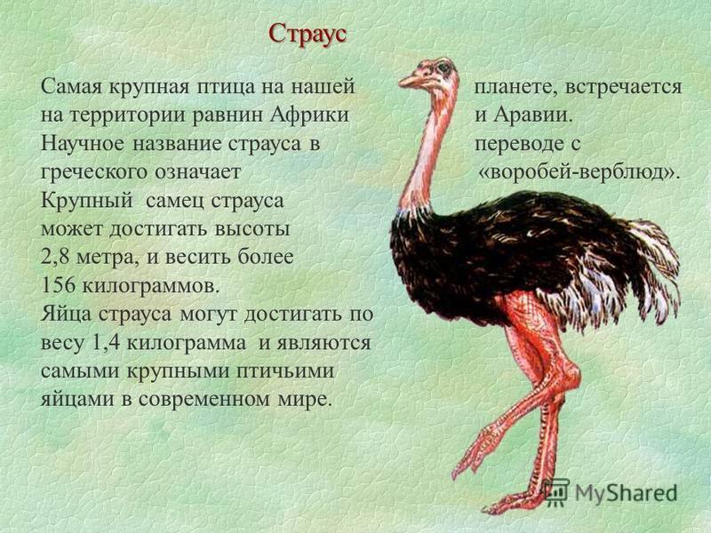 Самая крупная птица на нашей планете, встречается на территории равнин Африки и Аравии. Научное название страуса в переводе с греческого означает «воробей-верблюд». Крупный самец страуса может достигать высоты 2,8 метра, и весить более 156 килограммо