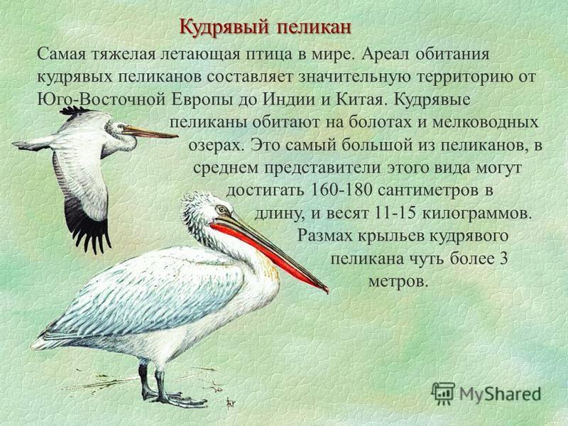 Кудрявый пеликан Самая тяжелая летающая птица в мире. Ареал обитания кудрявых пеликанов составляет значительную территорию от Юго-Восточной Европы до Индии и Китая. Кудрявые пеликаны обитают на болотах и мелководных озерах. Это самый большой из пелик