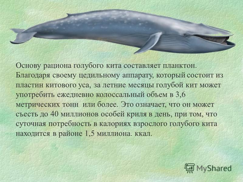 Основу рациона голубого кита составляет планктон. Благодаря своему цедильному аппарату, который состоит из пластин китового уса, за летние месяцы голубой кит может употребить ежедневно колоссальный объем в 3,6 метрических тонн или более. Это означает
