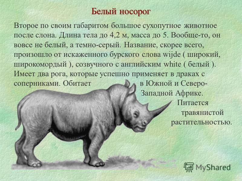 Второе по своим габаритом большое сухопутное животное после слона. Длина тела до 4,2 м, масса до 5. Вообще-то, он вовсе не белый, а темно-серый. Название, скорее всего, произошло от искаженного бурского слова wijde ( широкий, широкомордый ), созвучно