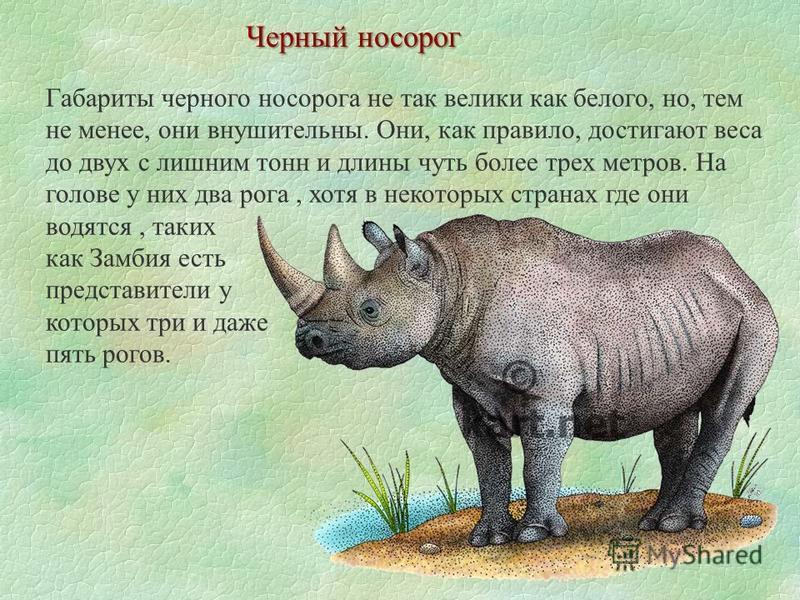 Габариты черного носорога не так велики как белого, но, тем не менее, они внушительны. Они, как правило, достигают веса до двух с лишним тонн и длины чуть более трех метров. На голове у них два рога, хотя в некоторых странах где они водятся, таких ка