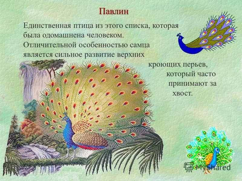Павлин Единственная птица из этого списка, которая была одомашнена человеком. Отличительной особенностью самца является сильное развитие верхних кроющих перьев, который часто принимают за хвост.