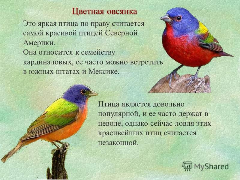 Цветная овсянка Это яркая птица по праву считается самой красивой птицей Северной Америки. Она относится к семейству кардиналовых, ее часто можно встретить в южных штатах и Мексике. Птица является довольно популярной, и ее часто держат в неволе, одна