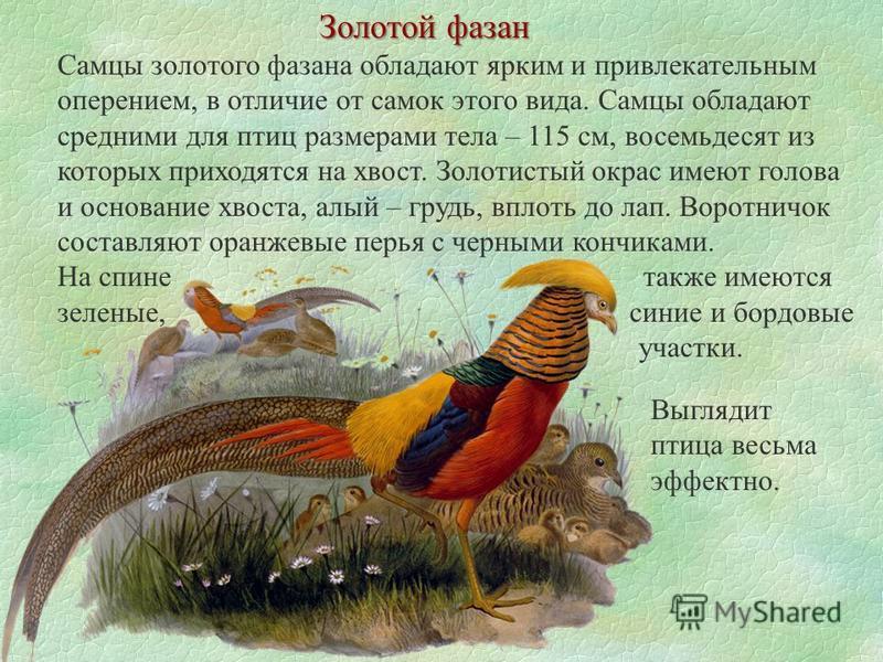 Золотой фазан Самцы золотого фазана обладают ярким и привлекательным оперением, в отличие от самок этого вида. Самцы обладают средними для птиц размерами тела – 115 см, восемьдесят из которых приходятся на хвост. Золотистый окрас имеют голова и основ