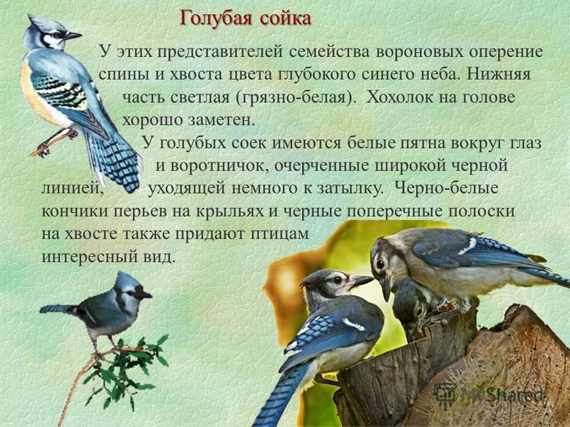 Голубая сойка У этих представителей семейства вороновых оперение спины и хвоста цвета глубокого синего неба. Нижняя часть светлая (грязно-белая). Хохолок на голове хорошо заметен. У голубых соек имеются белые пятна вокруг глаз и воротничок, очерченны
