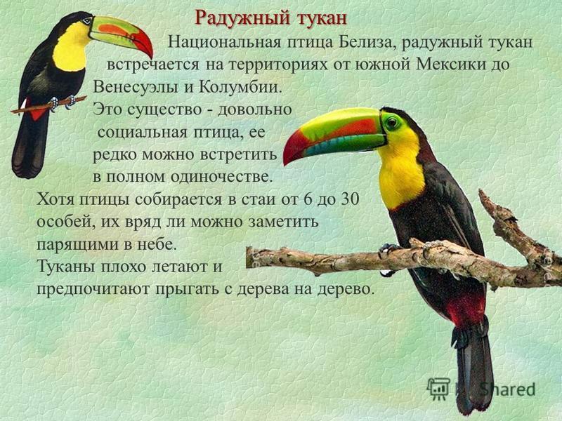 Радужный тукан Национальная птица Белиза, радужный тукан встречается на территориях от южной Мексики до Венесуэлы и Колумбии. Это существо - довольно социальная птица, ее редко можно встретить в полном одиночестве. Хотя птицы собирается в стаи от 6 д