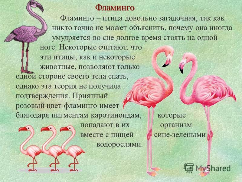 Фламинго Фламинго – птица довольно загадочная, так как никто точно не может объяснить, почему она иногда умудряется во сне долгое время стоять на одной ноге. Некоторые считают, что эти птицы, как и некоторые животные, позволяют только одной стороне с