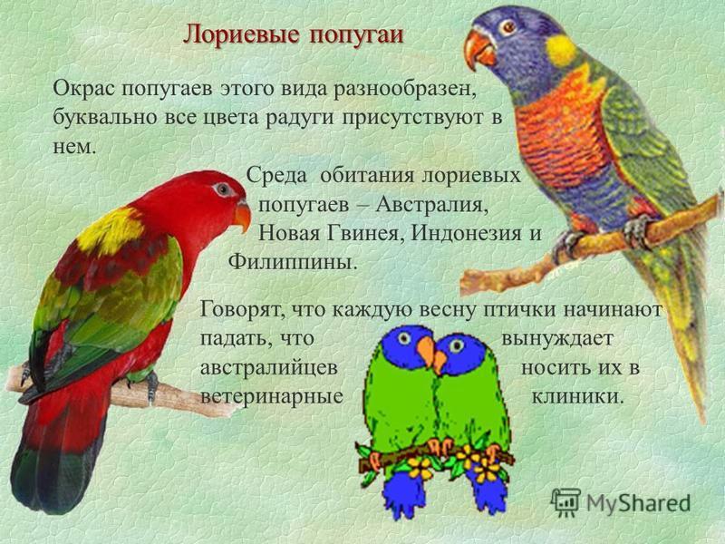 Лориевые попугаи Окрас попугаев этого вида разнообразен, буквально все цвета радуги присутствуют в нем. Среда обитания лориевых попугаев – Австралия, Новая Гвинея, Индонезия и Филиппины. Говорят, что каждую весну птички начинают падать, что вынуждает