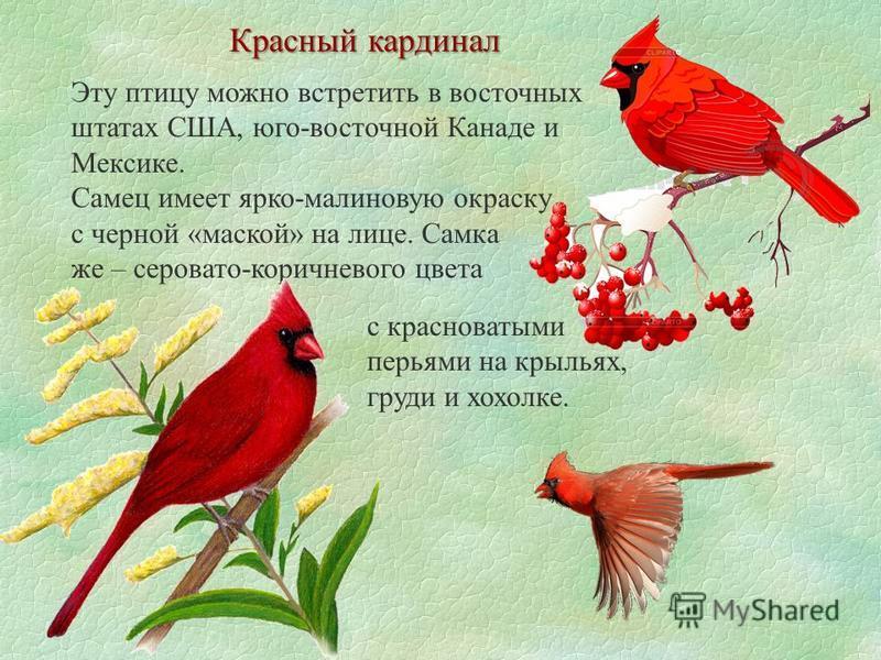 Красный кардинал Эту птицу можно встретить в восточных штатах США, юго-восточной Канаде и Мексике. Самец имеет ярко-малиновую окраску с черной «маской» на лице. Самка же – серовато-коричневого цвета с красноватыми перьями на крыльях, груди и хохолке.