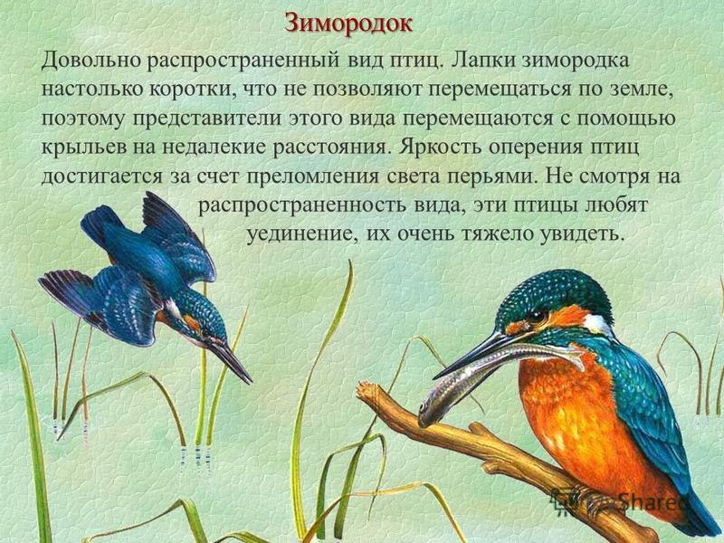 Зимородок Довольно распространенный вид птиц. Лапки зимородка настолько коротки, что не позволяют перемещаться по земле, поэтому представители этого вида перемещаются с помощью крыльев на недалекие расстояния. Яркость оперения птиц достигается за сче