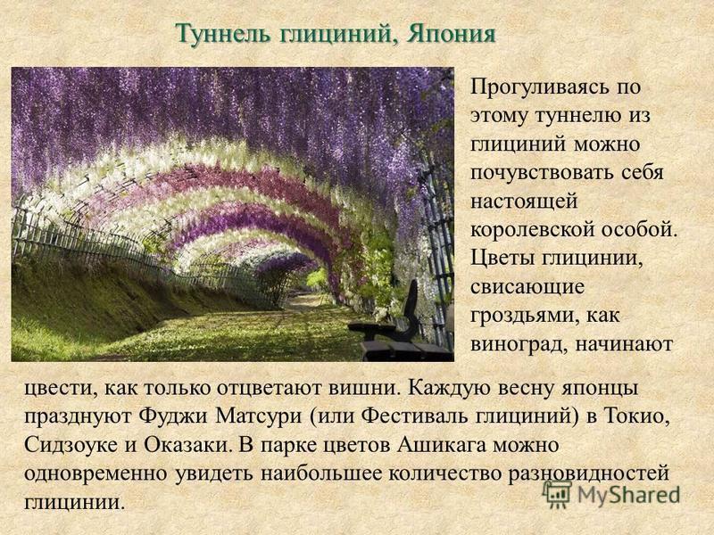 Туннель глициний, Япония Прогуливаясь по этому туннелю из глициний можно почувствовать себя настоящей королевской особой. Цветы глицинии, свисающие гроздьями, как виноград, начинают цвести, как только отцветают вишни. Каждую весну японцы празднуют Фу