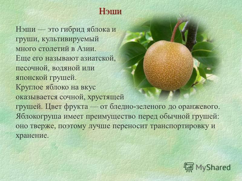 Нэши Нэши это гибрид яблока и груши, культивируемый много столетий в Азии. Еще его называют азиатской, песочной, водяной или японской грушей. Круглое яблоко на вкус оказывается сочной, хрустящей грушей. Цвет фрукта от бледно-зеленого до оранжевого. Я