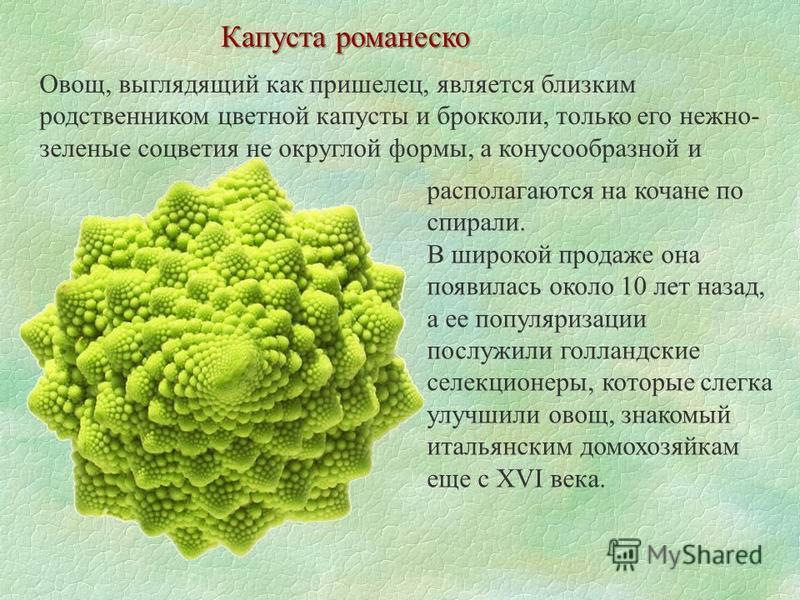 Капуста романеска Овощ, выглядящий как пришелец, является близким родственником цветной капусты и брокколи, только его нежно- зеленые соцветия не округлой формы, а конусообразной и располагаются на кочане по спирали. В широкой продаже она появилась о