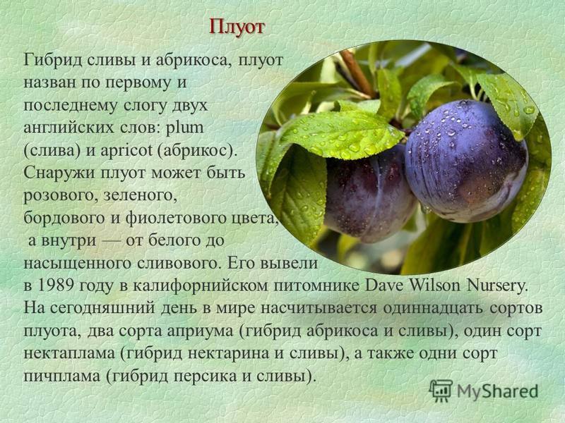 Плуот Гибрид сливы и абрикоса, плуот назван по первому и последнему слогу двух английских слов: plum (слива) и apricot (абрикос). Снаружи плуот может быть розового, зеленого, бордового и фиолетового цвета, а внутри от белого до насыщенного сливового.