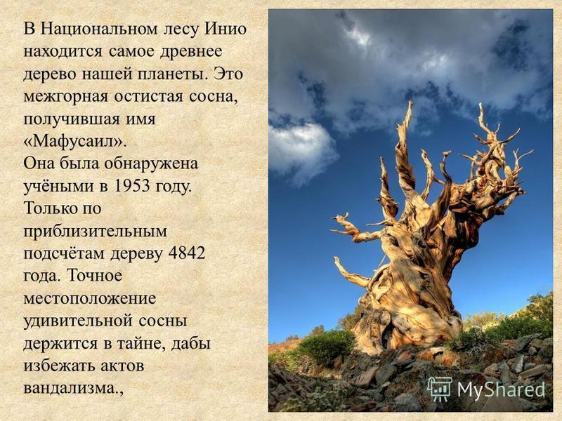В Национальном лесу Инио находится самое древнее дерево нашей планеты. Это межгорная остистая сосна, получившая имя «Мафусаил». Она была обнаружена учёными в 1953 году. Только по приблизительным подсчётам дереву 4842 года. Точное местоположение удиви