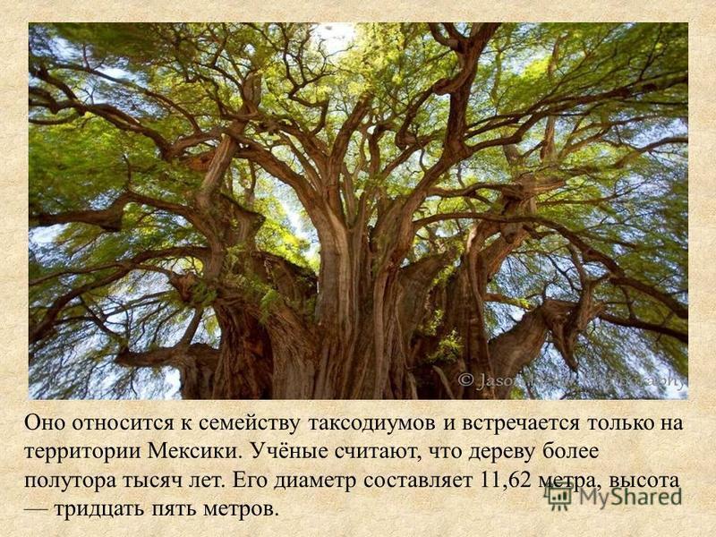 Оно относится к семейству таксодиумов и встречается только на территории Мексики. Учёные считают, что дереву более полутора тысяч лет. Его диаметр составляет 11,62 метра, высота тридцать пять метров.