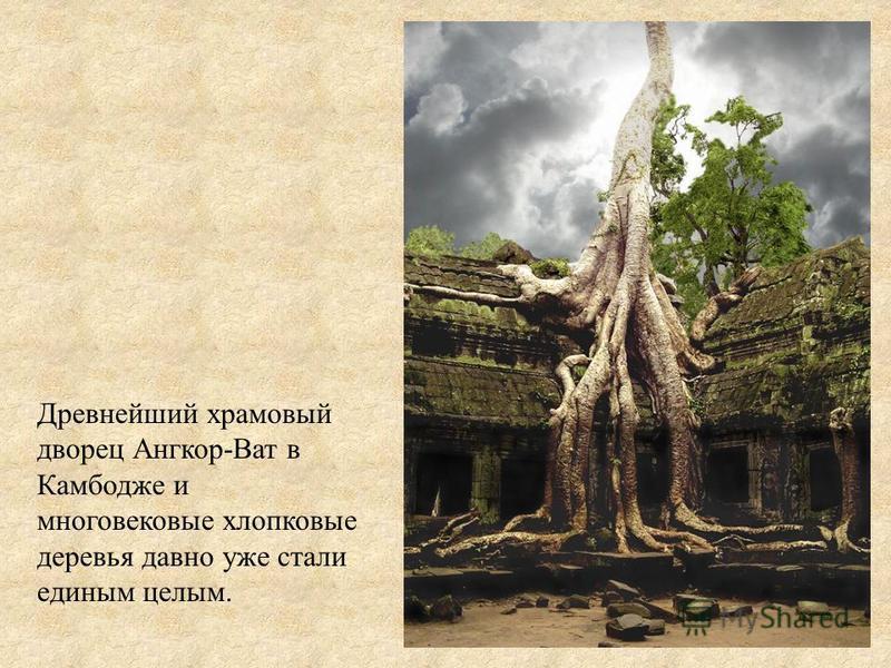 Древнейший храмовый дворец Ангкор-Ват в Камбодже и многовековые хлопковые деревья давно уже стали единым целым.