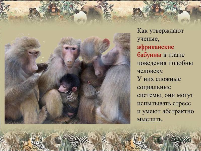 африканские бабуины Как утверждают ученые, африканские бабуины в плане поведения подобны человеку. У них сложные социальные системы, они могут испытывать стресс и умеют абстрактно мыслить.