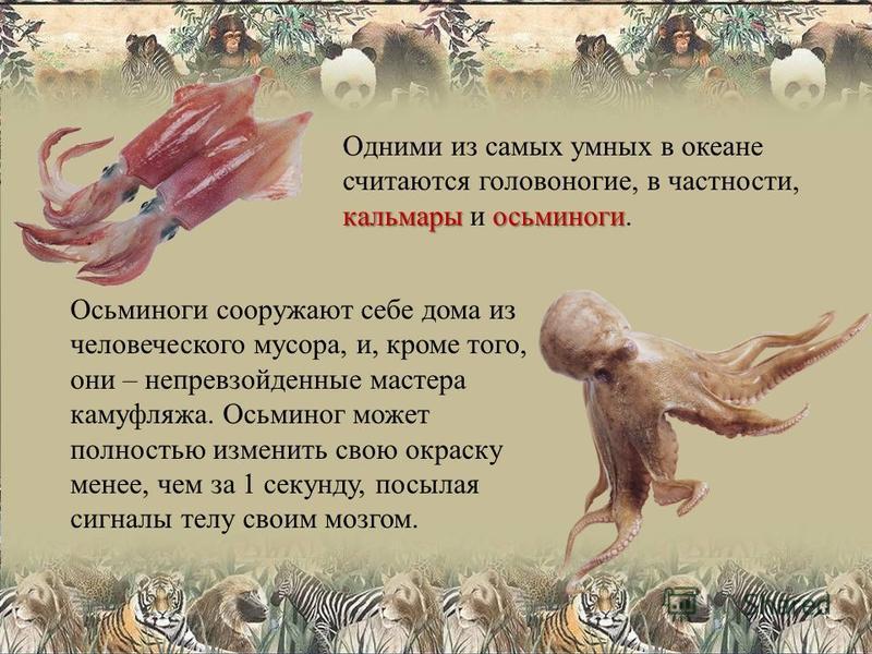 кальмары осьминоги Одними из самых умных в океане считаются головоногие, в частности, кальмары и осьминоги. Осьминоги сооружают себе дома из человеческого мусора, и, кроме того, они – непревзойденные мастера камуфляжа. Осьминог может полностью измени