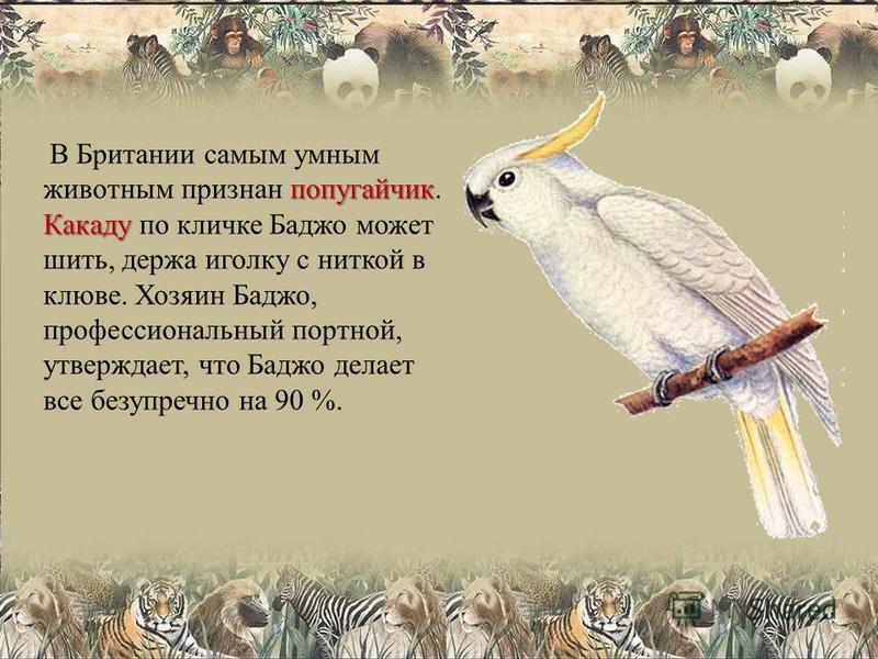 попугайчик Какаду В Британии самым умным животным признан попугайчик. Какаду по кличке Баджо может шить, держа иголку с ниткой в клюве. Хозяин Баджо, профессиональный портной, утверждает, что Баджо делает все безупречно на 90 %.
