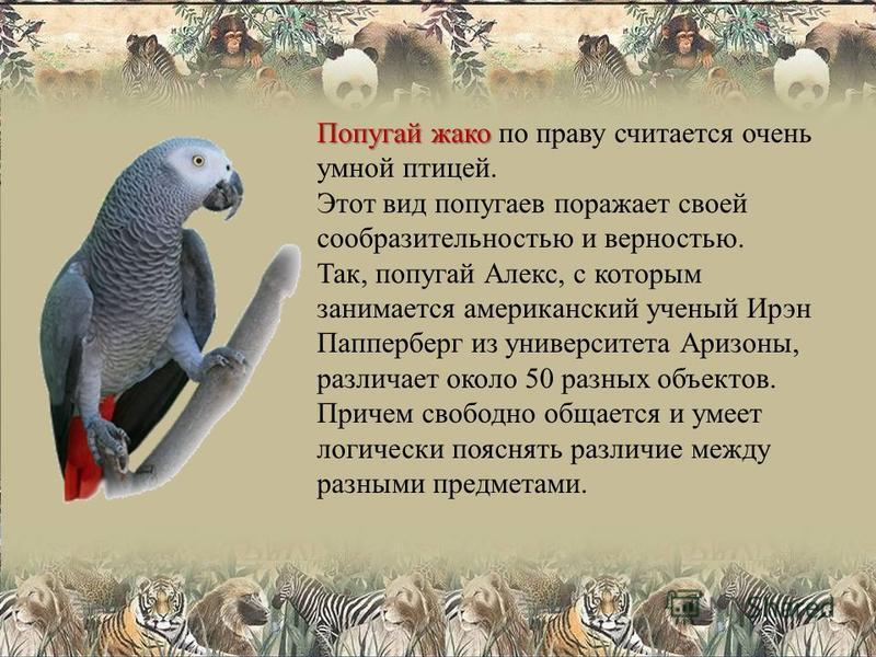 Попугай жако Попугай жако по праву считается очень умной птицей. Этот вид попугаев поражает своей сообразительностью и верностью. Так, попугай Алекс, с которым занимается американский ученый Ирэн Папперберг из университета Аризоны, различает около 50