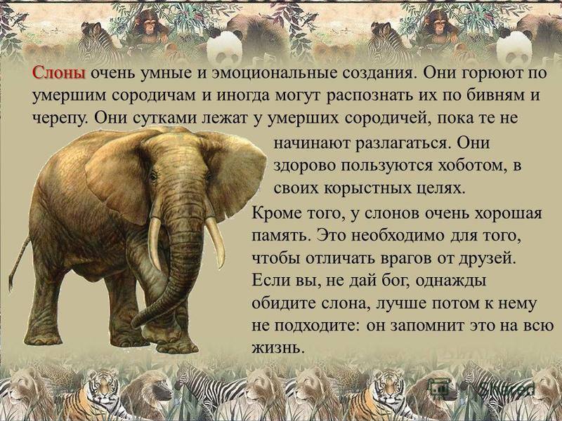 Слоны Слоны очень умные и эмоциональные создания. Они горюют по умершим сородичам и иногда могут распознать их по бивням и черепу. Они сутками лежат у умерших сородичей, пока те не начинают разлагаться. Они здорово пользуются хоботом, в своих корыстн