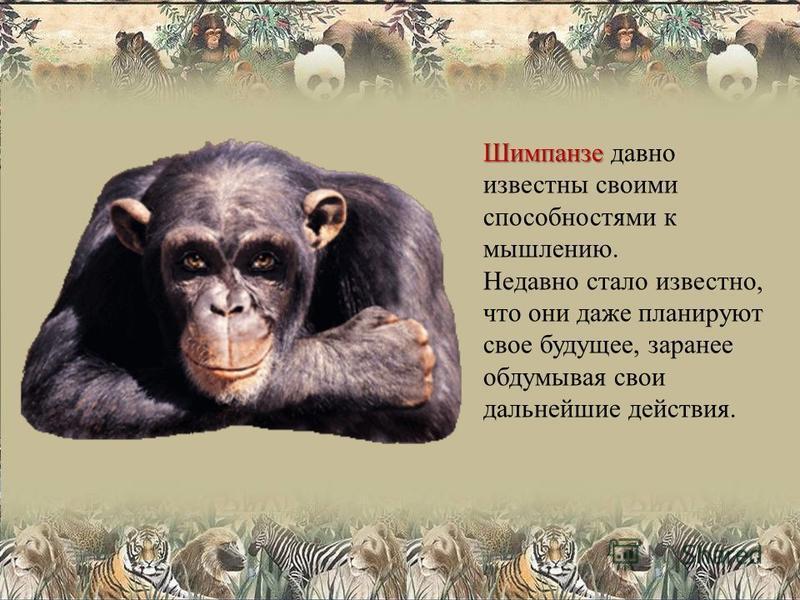 Шимпанзе Шимпанзе давно известны своими способностями к мышлению. Недавно стало известно, что они даже планируют свое будущее, заранее обдумывая свои дальнейшие действия.