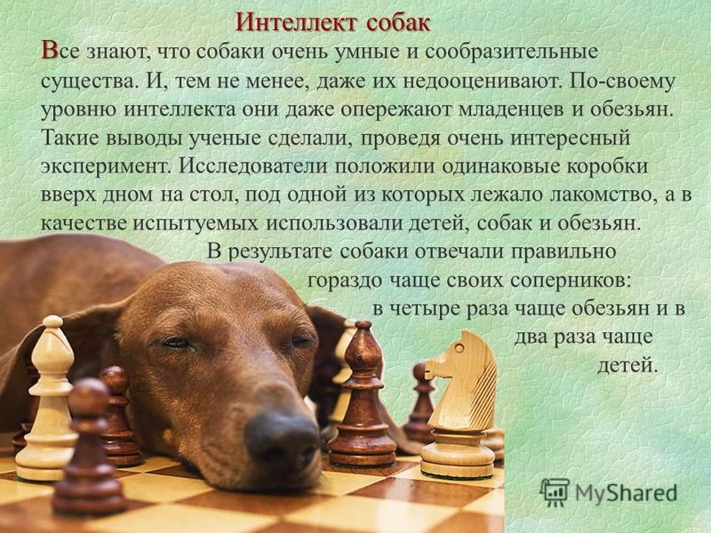 Интеллект собак В В се знают, что собаки очень умные и сообразительные существа. И, тем не менее, даже их недооценивают. По-своему уровню интеллекта они даже опережают младенцев и обезьян. Такие выводы ученые сделали, проведя очень интересный экспери