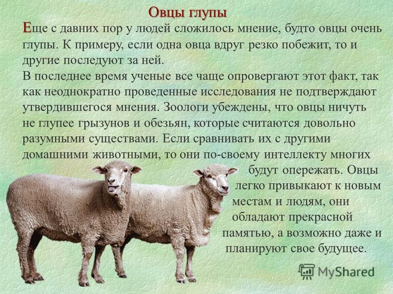 Овцы глупы Е Е ще с давних пор у людей сложилось мнение, будто овцы очень глупы. К примеру, если одна овца вдруг резко побежит, то и другие последуют за ней. В последнее время ученые все чаще опровергают этот факт, так как неоднократно проведенные ис