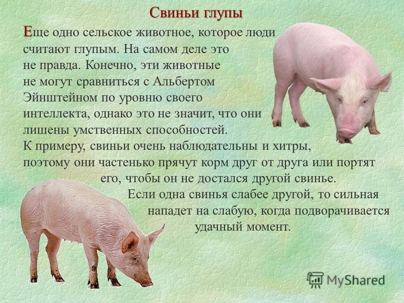 Свиньи глупы Е Е ще одно сельское животное, которое люди считают глупым. На самом деле это не правда. Конечно, эти животные не могут сравниться с Альбертом Эйнштейном по уровню своего интеллекта, однако это не значит, что они лишены умственных способ