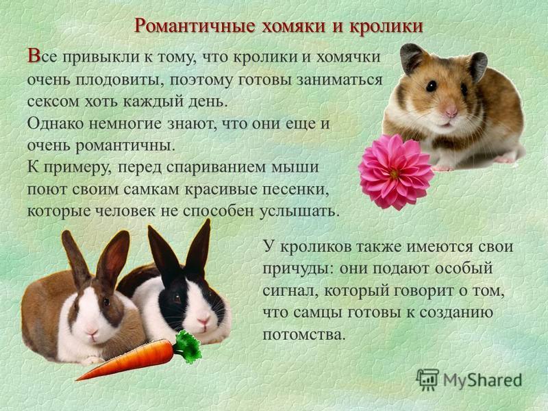 Романтичные хомяки и кролики В В се привыкли к тому, что кролики и хомячки очень плодовиты, поэтому готовы заниматься сексом хоть каждый день. Однако немногие знают, что они еще и очень романтичны. К примеру, перед спариванием мыши поют своим самкам