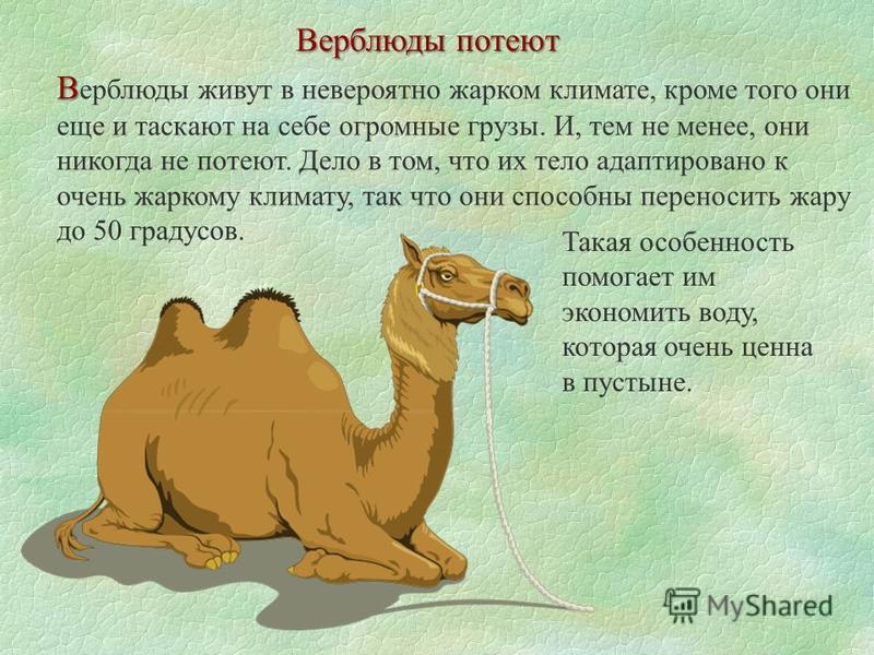 Верблюды потеют В В ерблюды живут в невероятно жарком климате, кроме того они еще и таскают на себе огромные грузы. И, тем не менее, они никогда не потеют. Дело в том, что их тело адаптировано к очень жаркому климату, так что они способны переносить