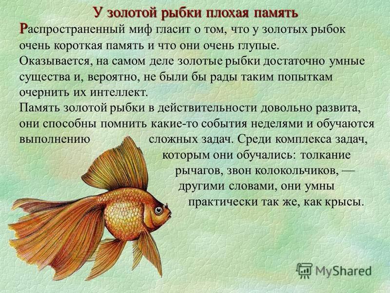 Р Р аспространенный миф гласит о том, что у золотых рыбок очень короткая память и что они очень глупые. Оказывается, на самом деле золотые рыбки достаточно умные существа и, вероятно, не были бы рады таким попыткам очернить их интеллект. Память золот