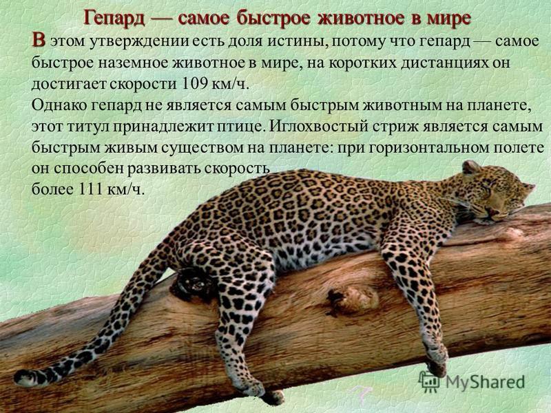 В В этом утверждении есть доля истины, потому что гепард самое быстрое наземное животное в мире, на коротких дистанциях он достигает скорости 109 км/ч. Однако гепард не является самым быстрым животным на планете, этот титул принадлежит птице. Иглохво