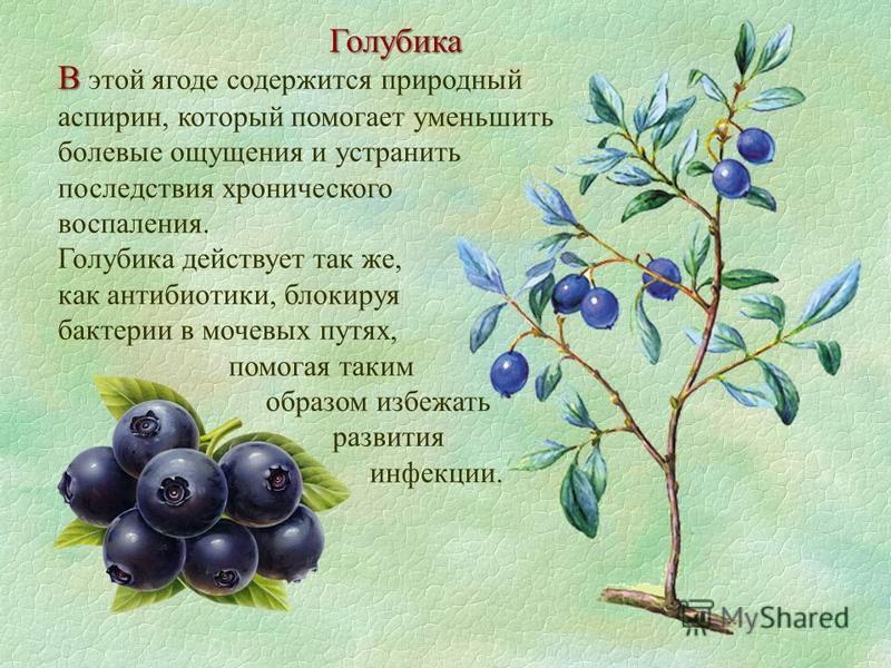 Голубика В В этой ягоде содержится природный аспирин, который помогает уменьшить болевые ощущения и устранить последствия хронического воспаления. Голубика действует так же, как антибиотики, блокируя бактерии в мочевых путях, помогая таким образом из