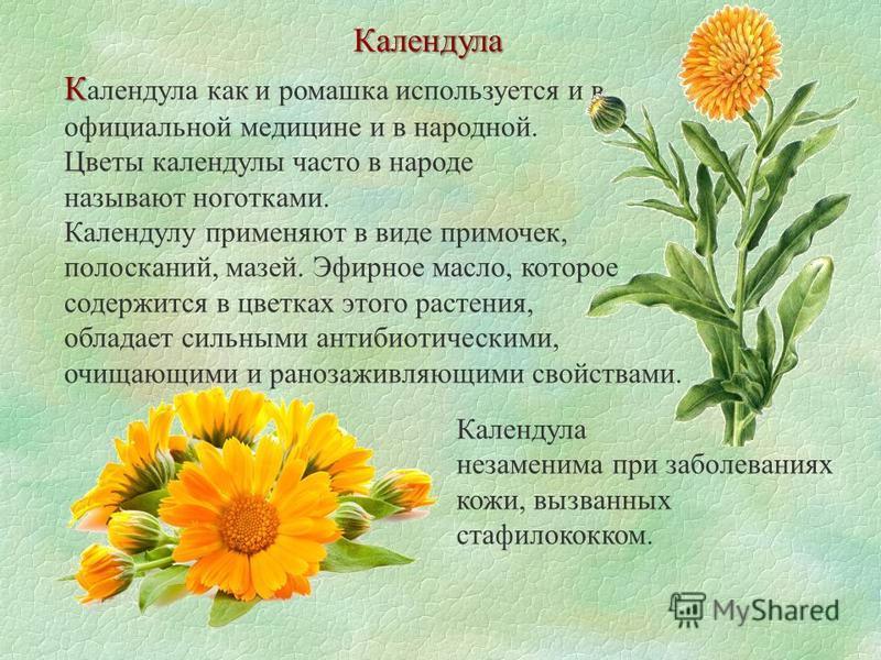 Календула К К алендула как и ромашка используется и в официальной медицине и в народной. Цветы календулы часто в народе называют ноготками. Календулу применяют в виде примочек, полосканий, мазей. Эфирное масло, которое содержится в цветках этого раст