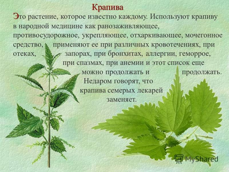 Крапива Э Э то растение, которое известно каждому. Используют крапиву в народной медицине как ранозаживляющее, противосудорожное, укрепляющее, отхаркивающее, мочегонное средство, применяют ее при различных кровотечениях, при отеках, запорах, при брон