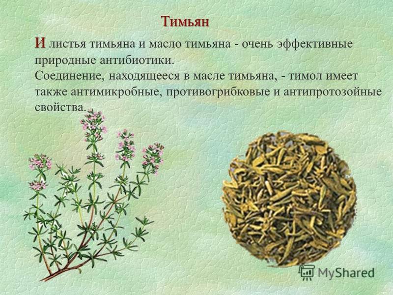 И И листья тимьяна и масло тимьяна - очень эффективные природные антибиотики. Соединение, находящееся в масле тимьяна, - тимол имеет также антимикробные, противогрибковые и антипротозойные свойства. Тимьян