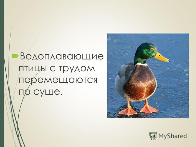Водоплавающие птицы с трудом перемещаются по суше.