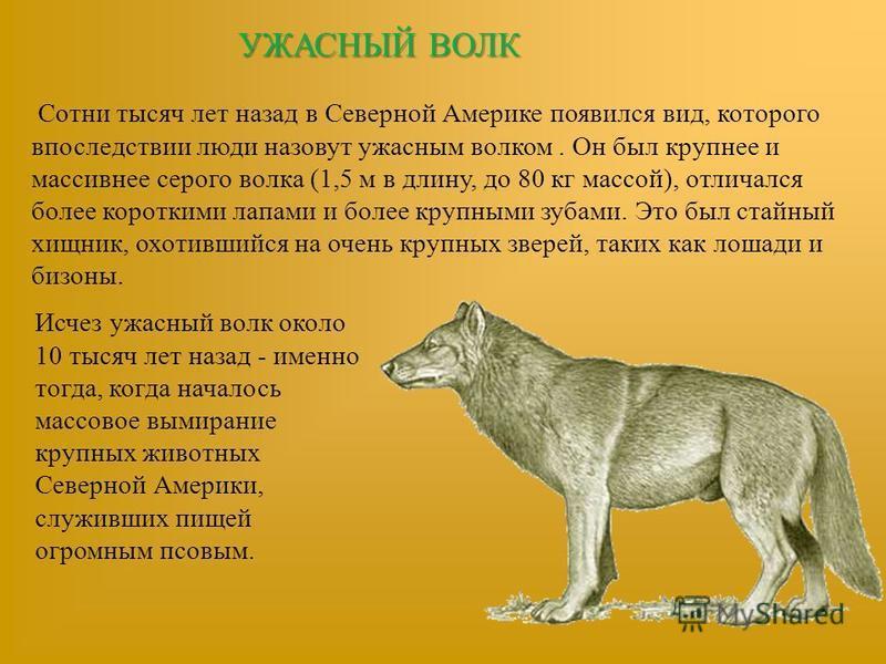УЖАСНЫЙ ВОЛК Сотни тысяч лет назад в Северной Америке появился вид, которого впоследствии люди назовут ужасным волком. Он был крупнее и массивнее серого волка (1,5 м в длину, до 80 кг массой), отличался более короткими лапами и более крупными зубами.