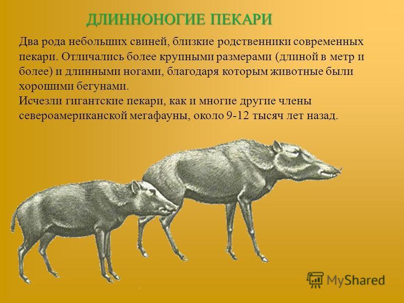 ДЛИННОНОГИЕ ПЕКАРИ Два рода небольших свиней, близкие родственники современных пекари. Отличались более крупными размерами (длиной в метр и более) и длинными ногами, благодаря которым животные были хорошими бегунами. Исчезли гигантские пекари, как и
