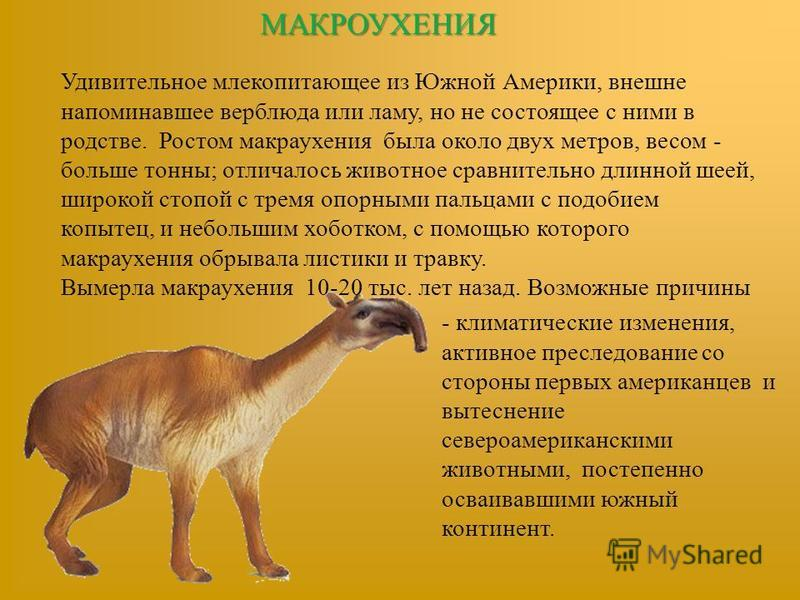 МАКРОУХЕНИЯ Удивительное млекопитающее из Южной Америки, внешне напоминавшее верблюда или ламу, но не состоящее с ними в родстве. Ростом макраухения была около двух метров, весом - больше тонны; отличалось животное сравнительно длинной шеей, широкой