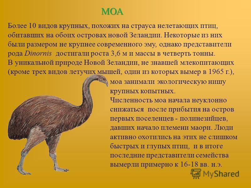 МОА Более 10 видов крупных, похожих на страуса нелетающих птиц, обитавших на обоих островах новой Зеландии. Некоторые из них были размером не крупнее современного эму, однако представители рода Dinornis достигали роста 3,6 м и массы в четверть тонны.
