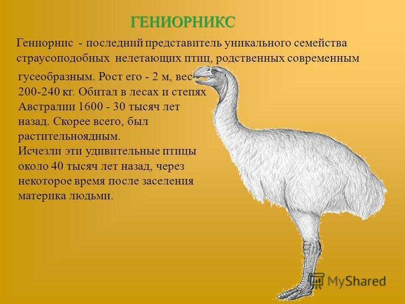 ГЕНИОРНИКС Гениорнис - последний представитель уникального семейства страусоподобных нелетающих птиц, родственных современным гусеобразным. Рост его - 2 м, вес - 200-240 кг. Обитал в лесах и степях Австралии 1600 - 30 тысяч лет назад. Скорее всего, б