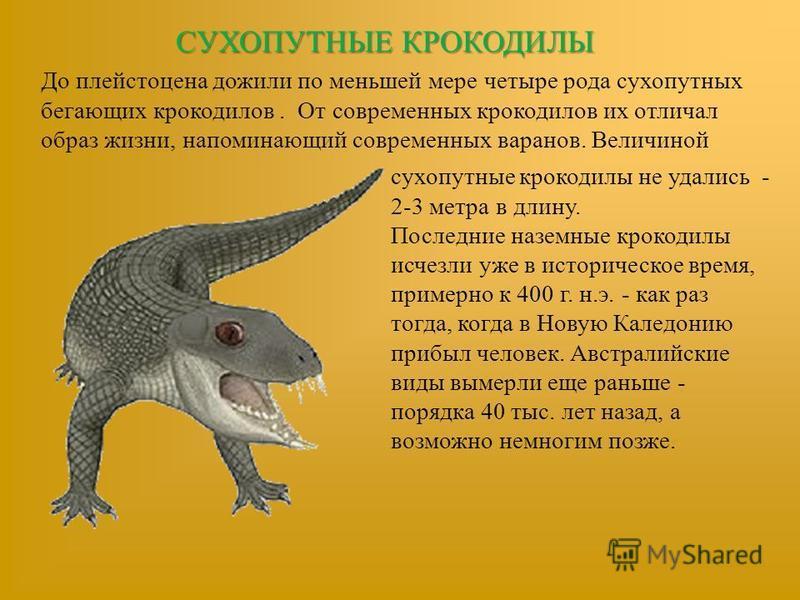 СУХОПУТНЫЕ КРОКОДИЛЫ До плейстоцена дожили по меньшей мере четыре рода сухопутных бегающих крокодилов. От современных крокодилов их отличал образ жизни, напоминающий современных варанов. Величиной сухопутные крокодилы не удались - 2-3 метра в длину.