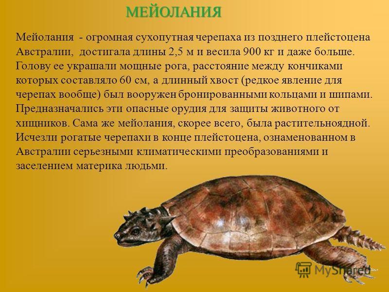 МЕЙОЛАНИЯ Мейолания - огромная сухопутная черепаха из позднего плейстоцена Австралии, достигала длины 2,5 м и весила 900 кг и даже больше. Голову ее украшали мощные рога, расстояние между кончиками которых составляло 60 см, а длинный хвост (редкое яв