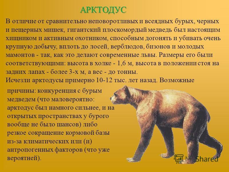 АРКТОДУС В отличие от сравнительно неповоротливых и всеядных бурых, черных и пещерных мишек, гигантский плоскомордый медведь был настоящим хищником и активным охотником, способным догонять и убивать очень крупную добычу, вплоть до лосей, верблюдов, б