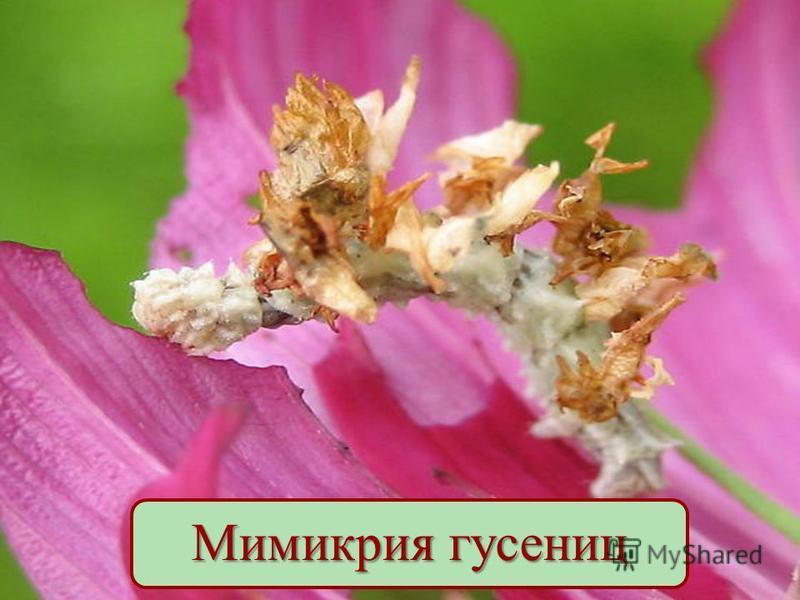Мимикрия гусениц