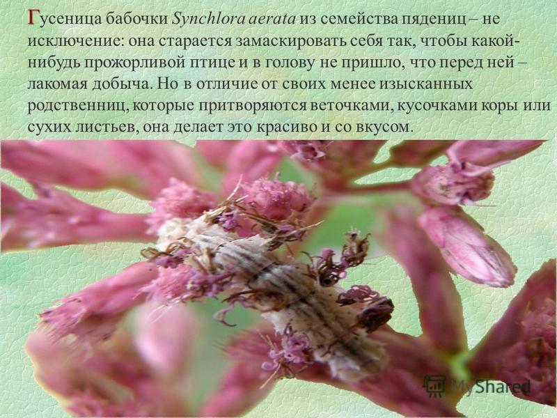 Г Г усеница бабочки Synchlora aerata из семейства пядениц – не исключение: она старается замаскировать себя так, чтобы какой- нибудь прожорливой птице и в голову не пришло, что перед ней – лакомая добыча. Но в отличие от своих менее изысканных родств