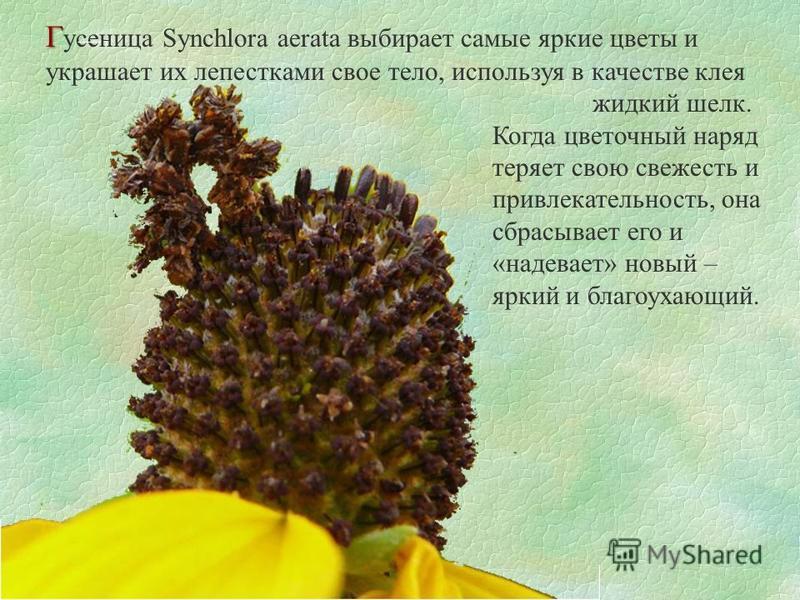 Г Г усеница Synchlora aerata выбирает самые яркие цветы и украшает их лепесткнами свое тело, используя в качестве клея жидкий шелк. Когда цветочный наряд теряет свою свежесть и привлекательность, она сбрасывает его и «надевает» новый – яркий и благоу